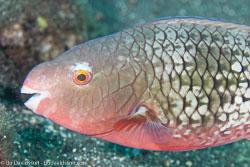 BD-130330-Tulamben-8155-Scarus-rubroviolaceus.-Bleeker.-1847-[Ember-parrotfish].jpg